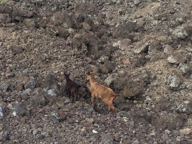 Mom Baby Goats